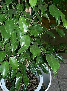 Weeping fig ~ Ficus benjamina