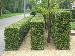 Layers of hornbeam hedge                                                                                                                                                                                 More