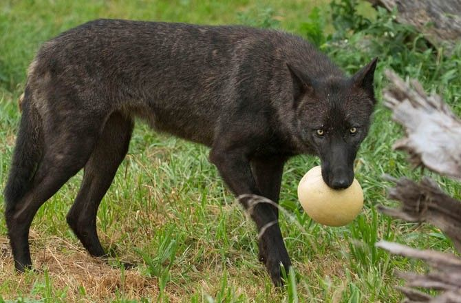 Wolf Species Howl in Distinct Dialects
