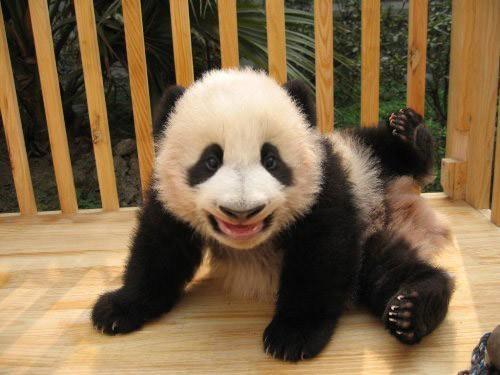 Cute baby panda... always makes us smile!