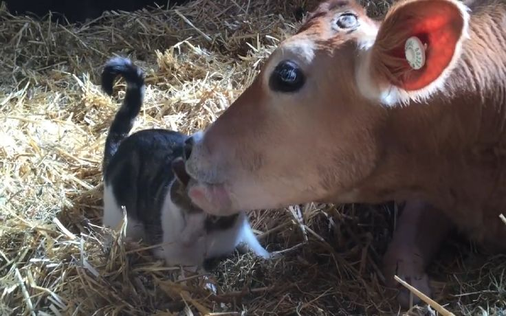 The friendship between Pixie the rescued calf and Stitch the cat is certainly one for the ages. Both came from rough beginnings in life, but as you can see in this video, that hardly hindered their ability to love.
