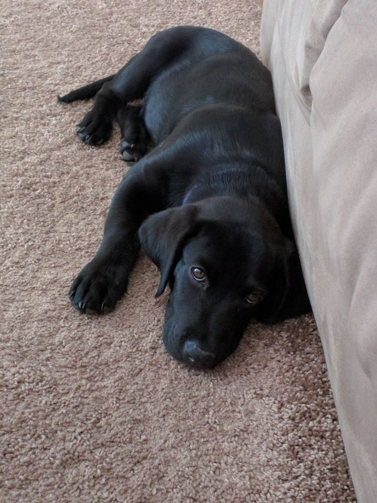 Everyone Meet Poe Our Rescued Lab Mix Puppy