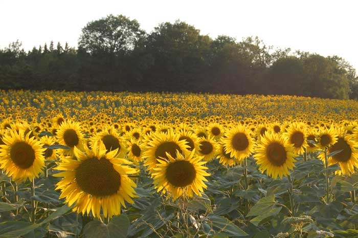 Quintessential sunflowers from France