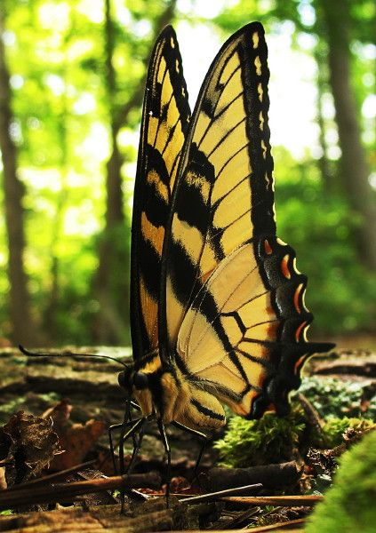 Butterfly - Tiger Swallowtail