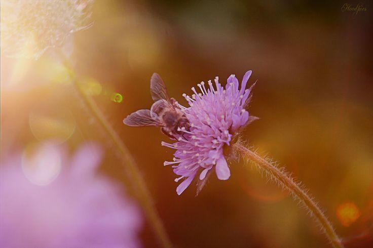 Bee by Hoodpics-Art Photography on 500px