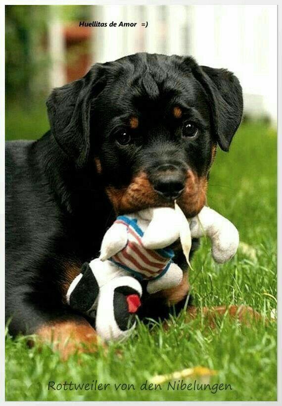 Pinterest Littlemillelemos Rottie World Baby Animals Dogs