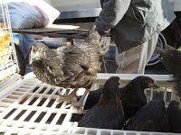 YUMURTALIK TAVUK-CİVCİV-HİNDİ: Atak s tavuk-civciv ATAK S S SİYAH YUMURTALAYAN TAVUK SATIŞI TOPTAN-PERAKENDE