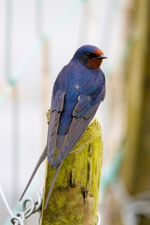 avianeurope: Barn Swallow (Hirundo rustica) by Paul Hunter