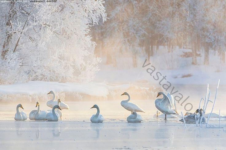 Kuva: Joki - talvi joella jää linnut laulujoutsenet asennot puut usva pakkanen - Kuvatoimisto - Photostock Vastavalo.fi