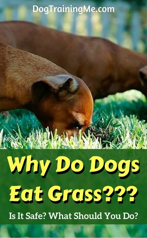Why dogs eat grass. Quit wondering if it's safe or if you should allow it! Get immediate answers to these questions and more, plus watch a video to explain it further, all in this article!