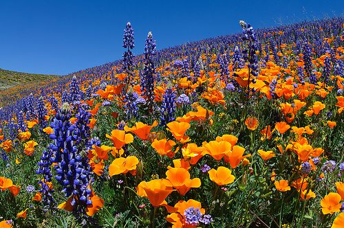 Lupine and Poppies  Antelope Valley -  things to do in the Antelope Valley or near Edwards Air Force Base EAFB