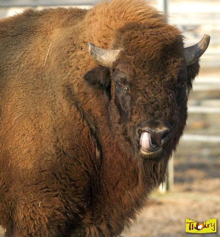 Bisontes europeos | Zoo Thoiry y el Parque