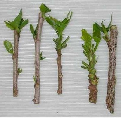 Cómo plantar esquejes de hortensias. La hortensias son flores de exterior muy bonitas y fáciles de cuidar, requiere una pequeña atención para que estén bien bonitas y sanas. En este artículo os vamos a explicar como plantar hortensias a ...
