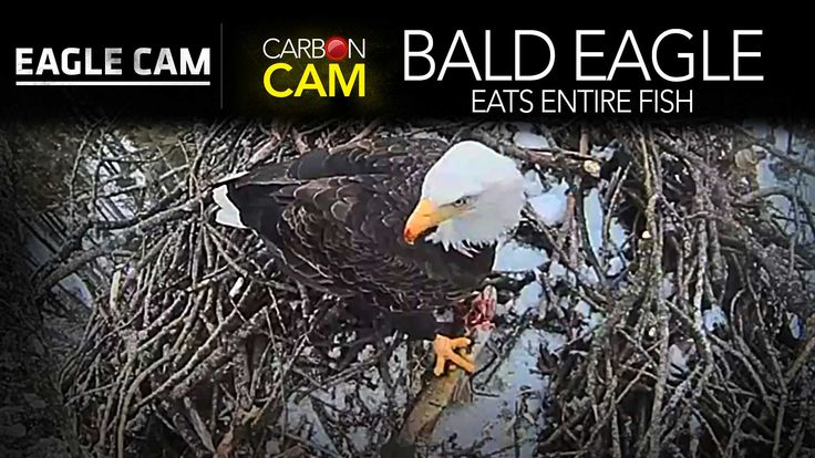 Watch this AMAZING video as our female Eagle returns to the nest with a fish she caught nearby locked in her talons. The fish provides a protein-packed meal, which she eats skin and bones, meat and fins ENTIRE. There is NOTHING LEFT. Her sharp beak slices right through the bone and turns it into a morsel she can swallow; just like the T-Rex did with it's prey.