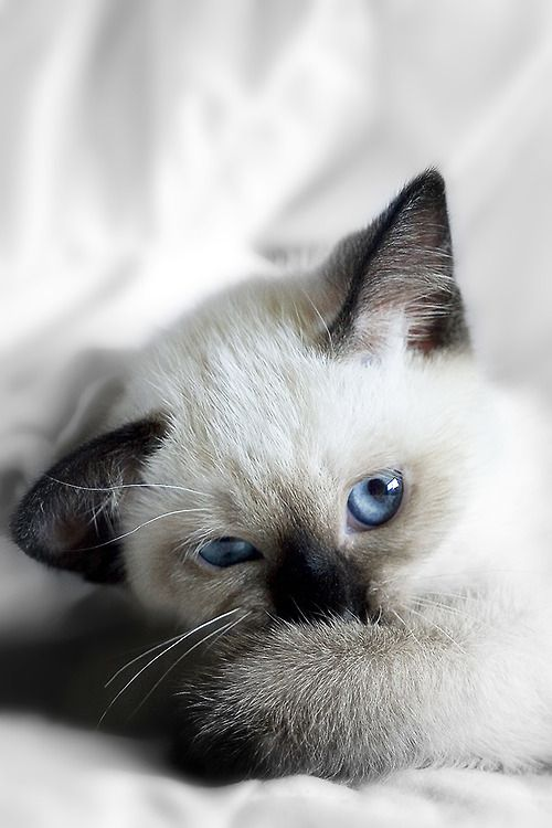 Aw, this reminds me of the seal point siamese cats we had when I was a kid