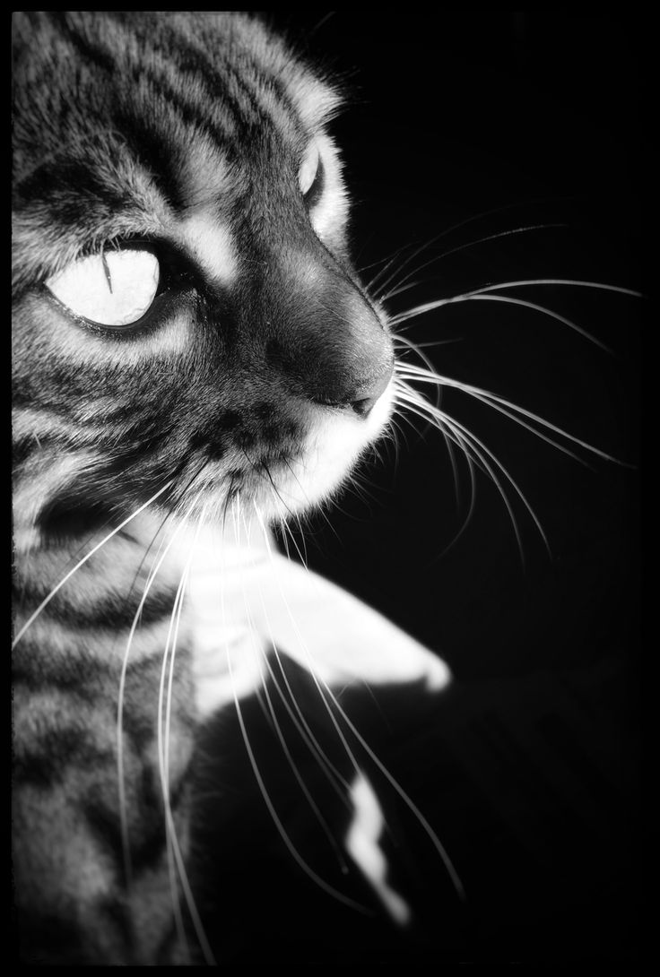 Bengal Cat Mizu