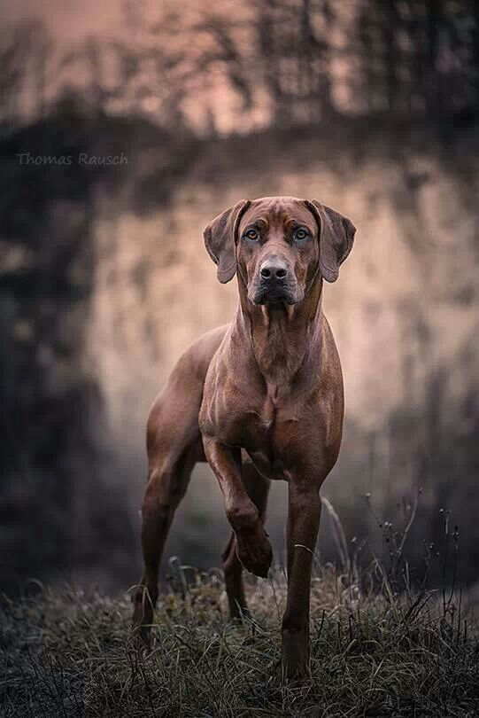 Rhodesian Ridgeback - great in extreme hot or cold temperature, very athletic abd guard dog. For experienced owners.