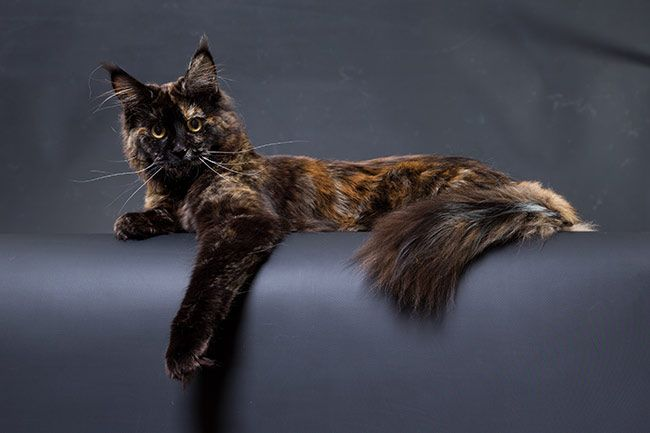 Maine Coon Black Torti Solid CH.NL Frizzy's Fortune Fabiana