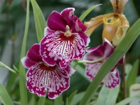 Орхидеи - Центрального ботанического  сада
