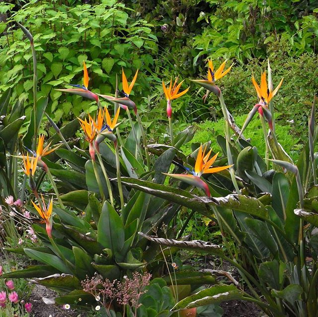 Strelitzia Or Bird Of Paradise Flower Planting Plantingdesign Plantingflowers Plantingideas V Birds Of Paradise Flower Garden Border Plants Border Plants