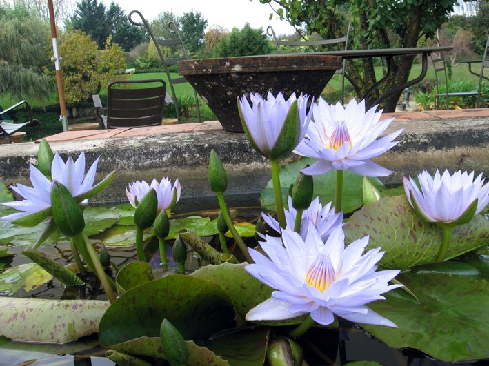 421 best dok bourh images on pinterest water lilies - Jardin des nenuphars le temple sur lot ...