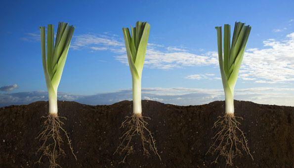 Lauch pflanzen: So geht es Schritt für Schritt: Gut den Boden vorbereiten zum Lauch pflanzen Lauch oder Porree zu pflanzen ist fast an jedem Standort möglich. Er verträgt Schatten und Sonne. Nur Orte mit Staunässe sind nicht geeignet, um Lauch zu pflanzen. Der Boden wird am besten bereits im Herbst vorbereitet. Sehr günstig ist es, durch Gründüngung mit Phacelia oder Lupine die Erde mit Nährstoffen anzureichern. Die Gründüngerpflanzen werden anschliessend eingegraben und der Boden…