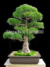 Japanese Red Cedar - Cryptomeria Japonica - Bonsai Tree:bluish green foliage and thick reddish brown bark - 50Seeds