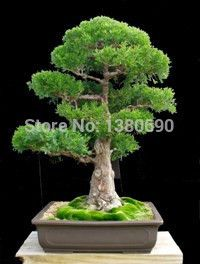 Japanese Red Cedar - Cryptomeria Japonica - Bonsai Tree:bluish green foliage and thick reddish brown bark - 50Seeds