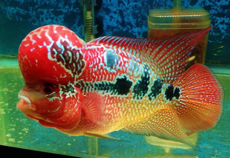 ikan+hias+air+tawar+aquarium+4.jpeg (1024×704)