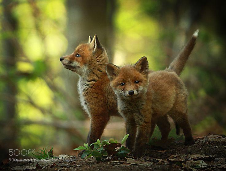 Fox cubs by RolandJensen