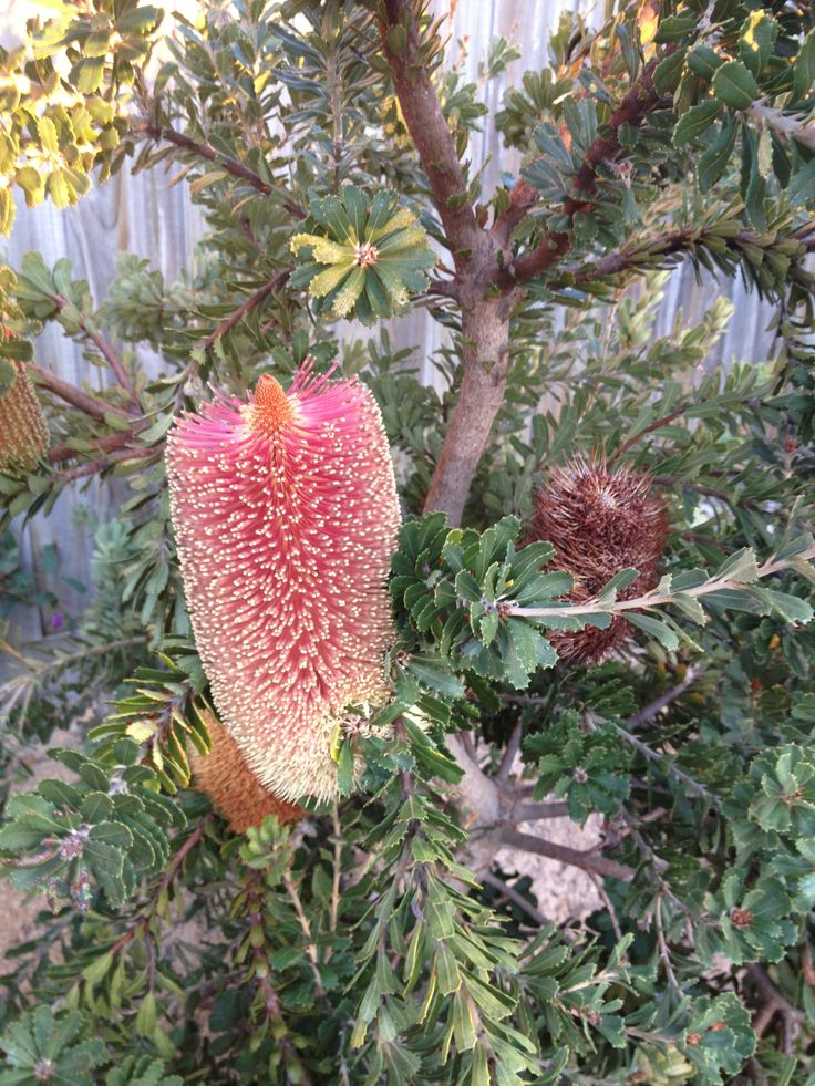 Bush Flower Essence # Banksia