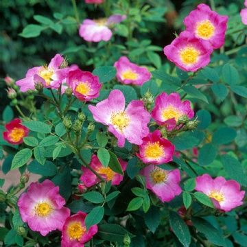 Rosa canina 'Andersonii'