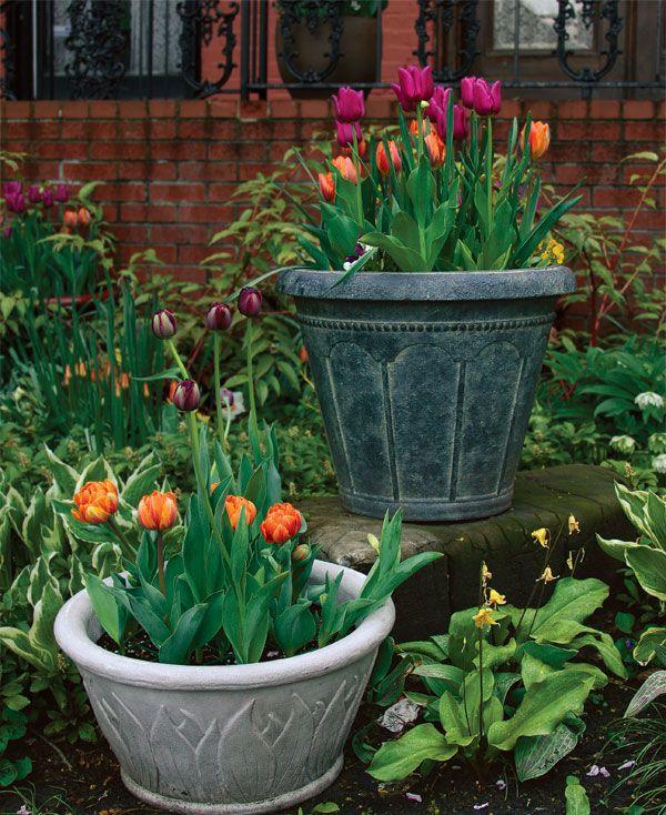 El cultivo de tulipanes en maceta nos evita diversos problemas habituales en el cultivo típico en el suelo. Los tulipanes cuando se cultivan en el suelo suelen ser víctimas de los roedores y las ardillas. Además los bulbos no suelen durar más de dos o tres años y eso en condiciones ideales. Por lo tanto es corriente que aparezcan muchos fallos en nuestro macizo de tulipanes cultivados en el suelo.  Sin olvidar que una maceta con tulipanes es de una enorme belleza y la podemos mover a…