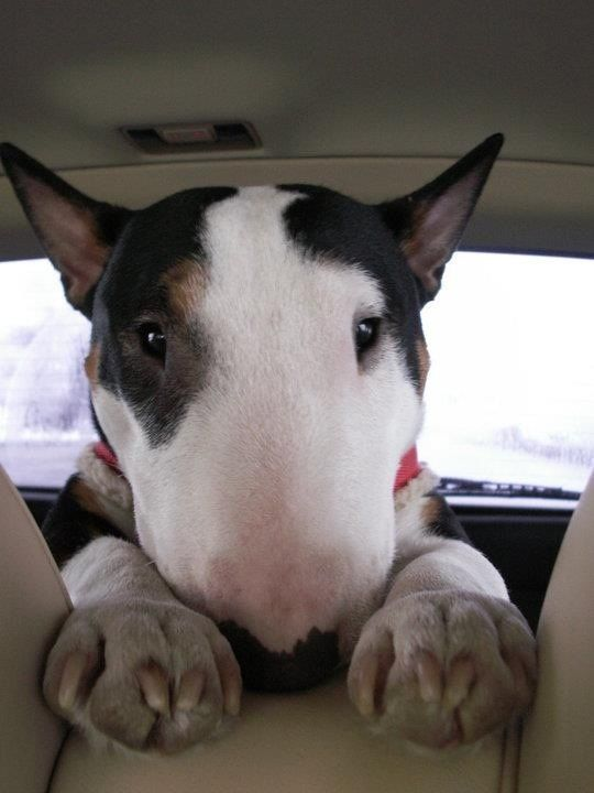 So cute !--colored bull terrier. Love their big egg faces.
