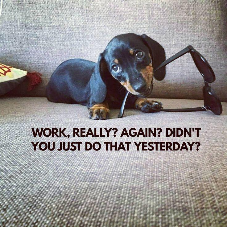 Work Again Dog Meme Dachshund Quotes Dachshund Breed Funny