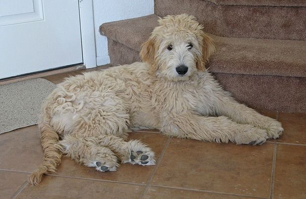 Goldendoodle, Golden Retriever Poodle Mix