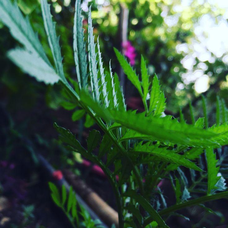 Calendula growing