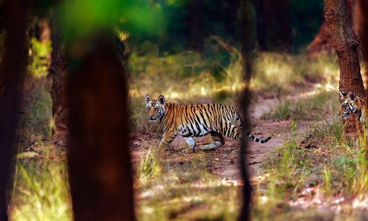Rajbhera cubs - Had to work a bit to focus on the line of 4 cubs of the Rajbhera female. They went past quickly among the trees as we struggled to keep them in sight from this far away,