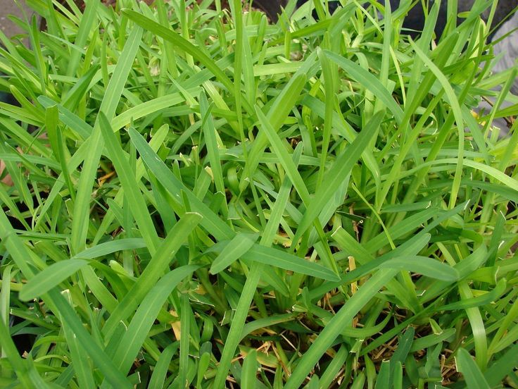 How to Care for St. Augustine Grass in 2020 St augustine