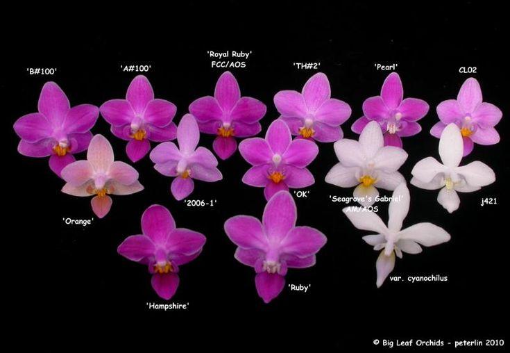 orchid phalaenopsis identification chart