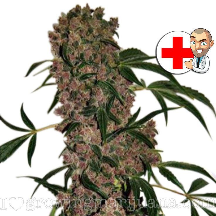 Girl Scout Cookies Extreme Seeds (fem) | USA Shipping - ILGM