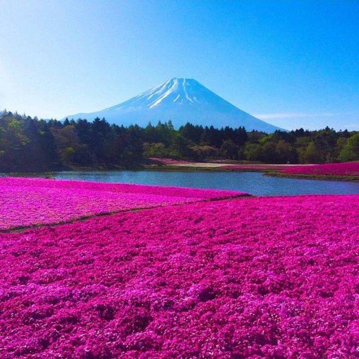 Поле флоксов и легендарная гора Фудзи, Япония  #travel #travelgidclub #путешествия #traveling #traveler #beautiful #instatravel #tourism #tourist #туризм #природа #поле #цветы #флоксы #гора #mount #Фудзи #Япония #Japan