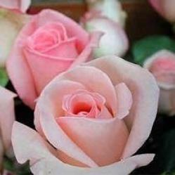 Las rosas rosadas: Regalar una flor rosada es la forma, mediante flores, de agradecer un favor importante. También significa el aprecio que se tienen por alguien. El rosado lleva consigo el significado de ausencia de maldad, es decir, no hay ninguna doble intención en la persona que se las ofrezca. Por eso, la persona que regala este ramo de flores es de fiar. Si el color del ramo de flores es rosado suave, significa admiración y simpatía.