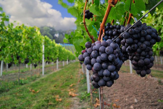 Grapes of the Languedoc