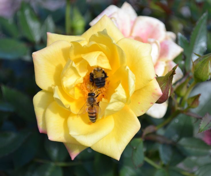 Grow And Propagate Roses From Cuttings Plant
