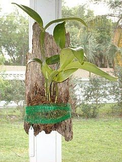 <>> <> Lady of the Night Orchid on a tree trunk <><> Growing orchids and other tree-dwelling plants adds a nice element to a landscape...