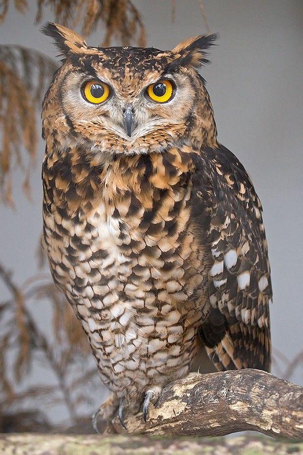 Owl | Eagle Owl Face - Our Birds - Turbary Woods