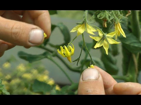 Plant breeding & Crossing - Tomatoes, Aubergines, Peppers and Potatoes