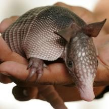 "Armidillo      The word armadillo is Spanish for ""little armored one"". The plural of armadillo is armadillos or armadillos."