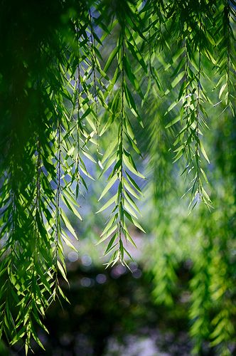 """Homemade rooting """"hormone"""". Make tea from fresh willow tree leaves. Place stem/leaf cutting in tea while preparing pot and soil."""